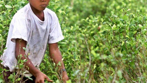 Plantações de coca