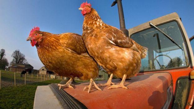 鸡具有非常复杂的社交生活。 (图片来源: Ernie Janes/naturepl.com)