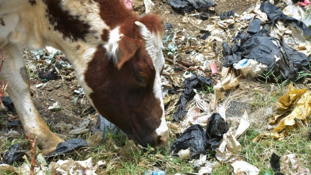 A cow surrounded by plastic rubbish