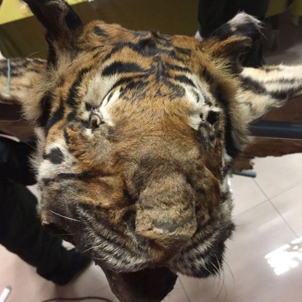 Đầu một con hổ được phát hiện trong cuộc bắt giữ hôm thứ Tư