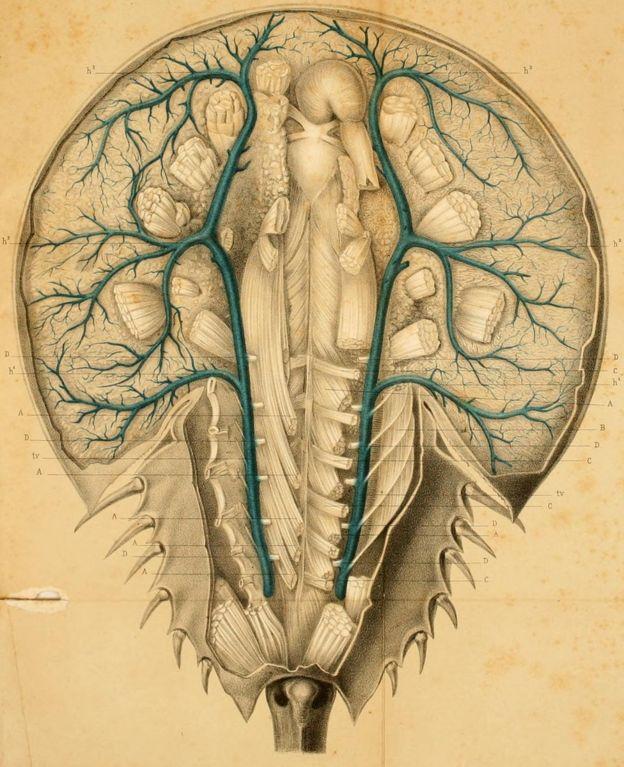 """Dibujo anatómico del cangrejo de herradura que aparece en """"Recherches sur l'anatomie des Limules"""" de M. Alph. Milne Edwards, publicado en París en 1873."""