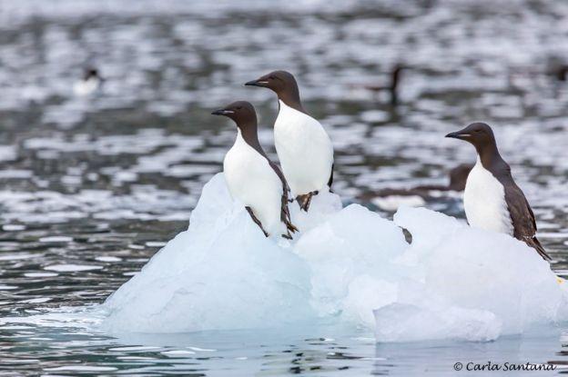 Aves en el polo norte