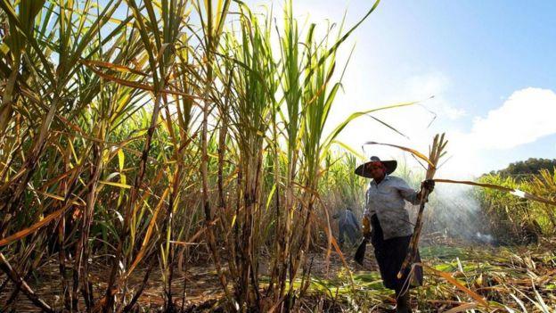 Agricultora trabalhando em canavial