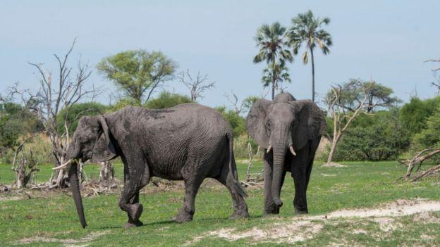 Dos elefantes adultos.