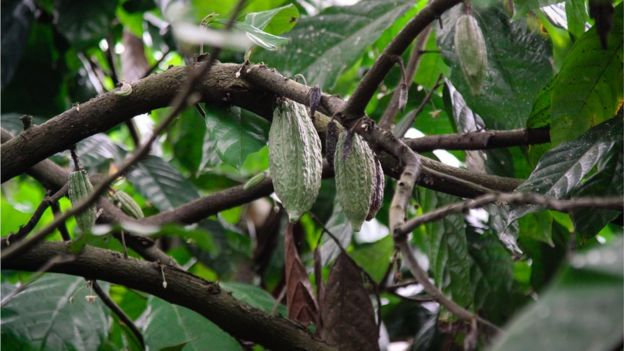 Cacao pods growing on a tree in Indonesia