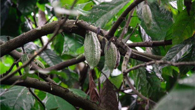 印尼可可豆樹