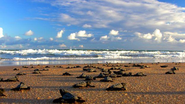 Tartarugas indo em direção ao mar