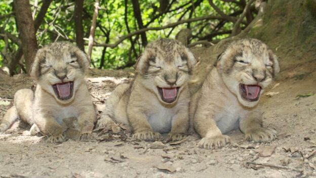 Photograph of three lion cubs taken by Sandeep Kumar, Deputy Conservator of Forests in Gir