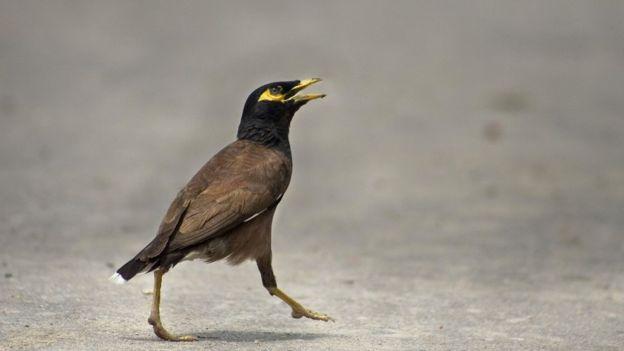 "Especimen de la especie de ave ""miná común"""