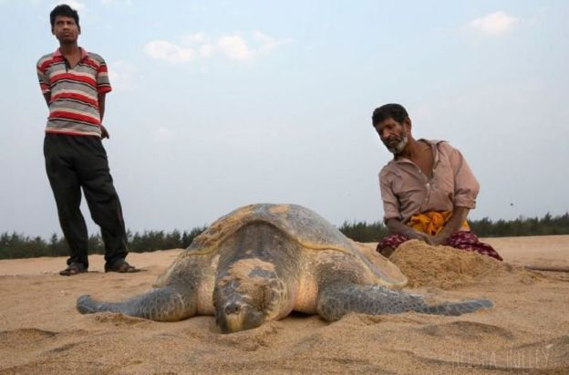 A local hired by the Forest Department helps an injured olive ridley lay eggs