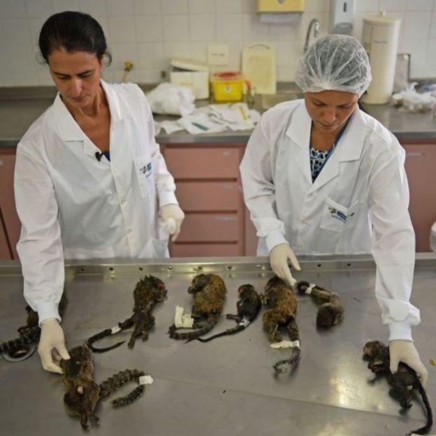 Monos en laboratorio de Vigilancia Sanitaria y Control de Zoonosis de Río de Janeiro.