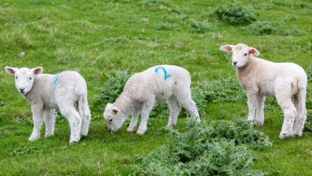 Tres ovejas.