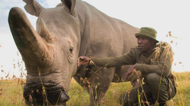 The northern white rhino