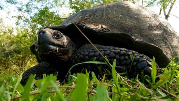 Nəhəng Galapagos tısbağası (Chelonoidis nigra)