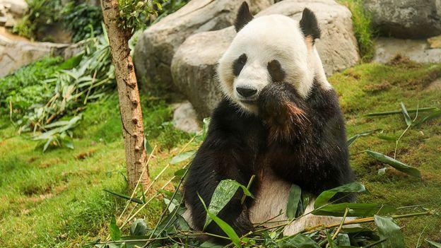 El panda Lee Lee.