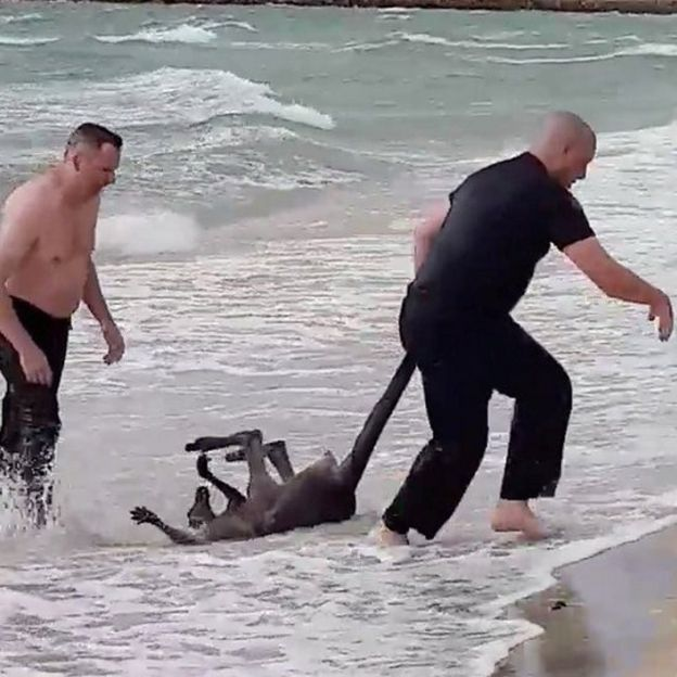 Drowning kangaroo rescued by Australian police officers