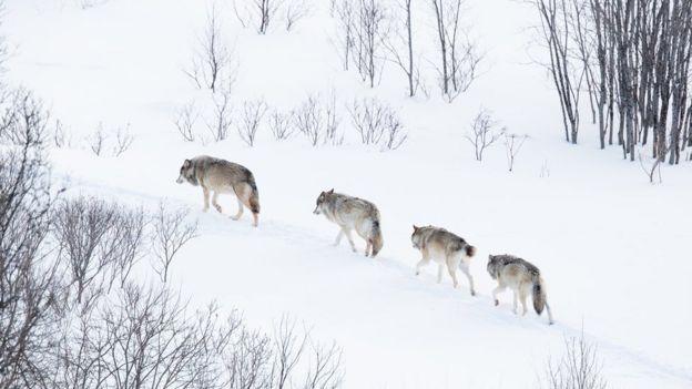گله گرگ ها در زمستان نروژ