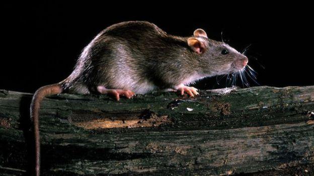 Rato em cima de madeira