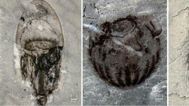 عروس دریایی از جمله در میان این فسیل ها پیدا شد