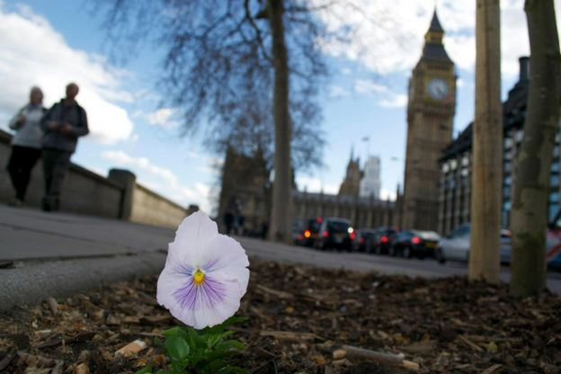 Pansy with Big Ben in the background