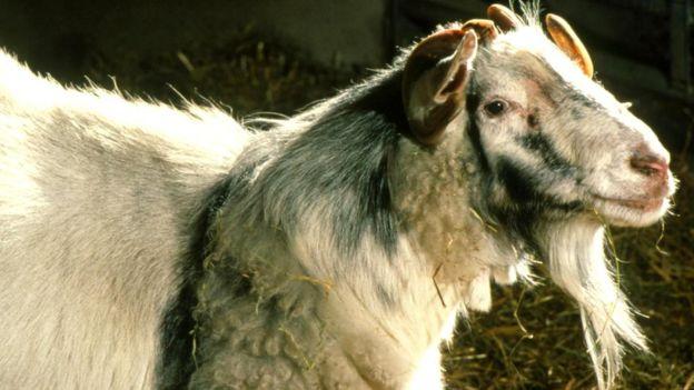 Химера козы и овцы