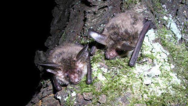 Bechstein's bat