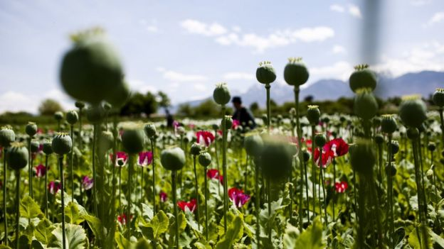 An Afghan poppy field in full bloom
