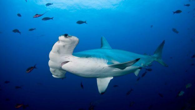 Foto de cerca de los ojos y cuerpo de un tiburón martillo