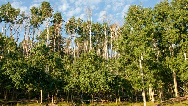 Drought-induced dieback among trees