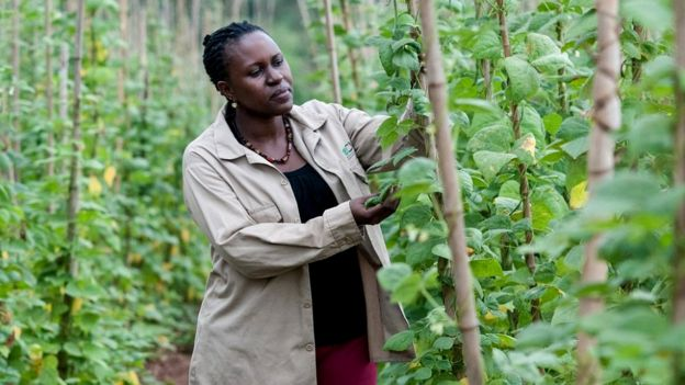 Clare Mukankusi, CIAT bean breeder in Kawanda, Uganda. She leads breeding efforts for the bean genebank. 15 varieties of seeds were introduced to farmers in Hoima, north-western Uganda, each with different properties: drought resilience; disease tolerance; high iron, with support from Uganda's National Crops Resources Research Institute (c) Georgina Smith / CIAT