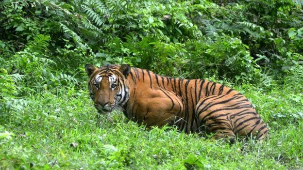 印度老虎吃人 该保护老虎还是保护人?
