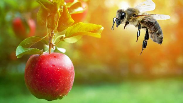 Abeja y manzana