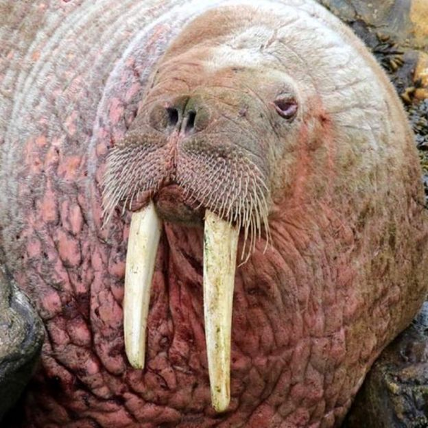 arctic walrus wally turns up at skerries in shetland bbc news
