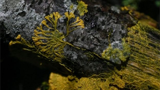 Foto do physarum polycephalum — ou 'blob'