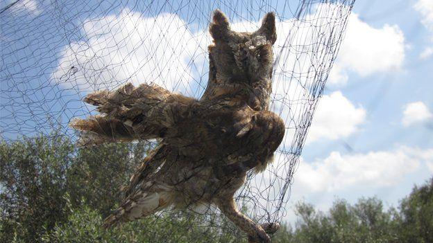 Owl in net