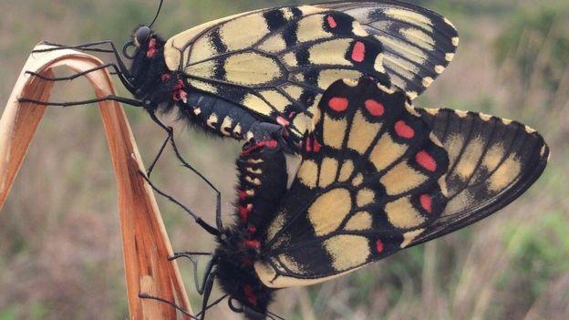 Euryades choretrus