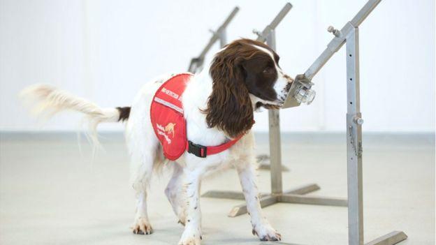 Um cocker spaniel, cão de tamanho médio e orelhas compridas, usando uma roupa da entidade de treinamento, cheira objeto em teste para detectar cheiro de pessoa com coronavírus
