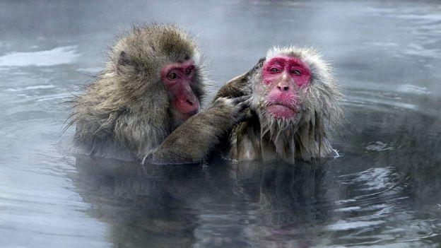 Un mono desparasitando a otro en el agua.