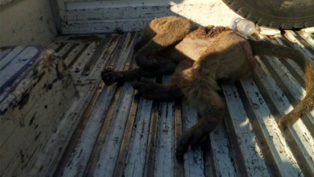 The baboon lying in a truck