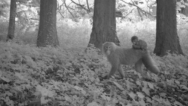 Macacos em Fukushima
