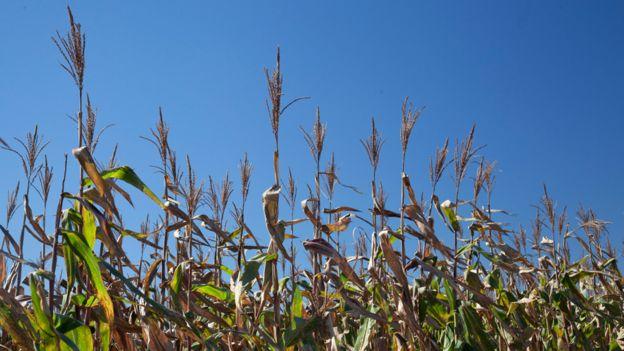 Plantación de maíz en Brasil