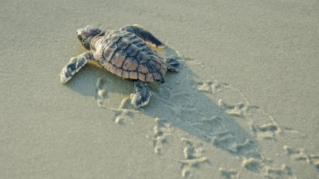 A small turtle hatchling makes its way across wet sand, leaving a trail in its wake