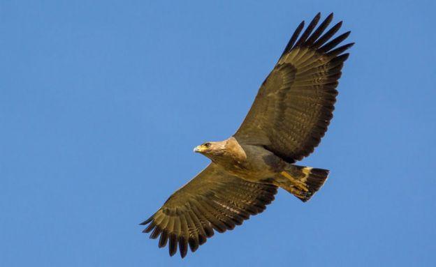 Águila del Chaco volando
