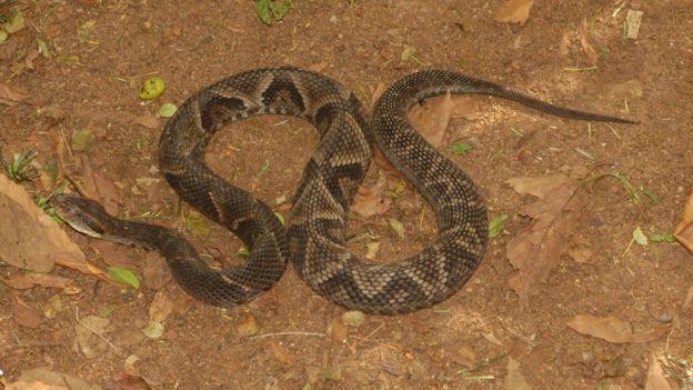 Serpente do Parque do Estado comparada a uma do litoral