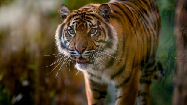Sumatran tiger (c) Chester Zoo