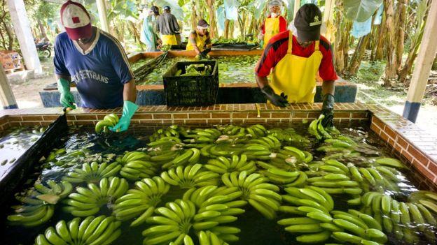 Homens lavando bananas após colheita