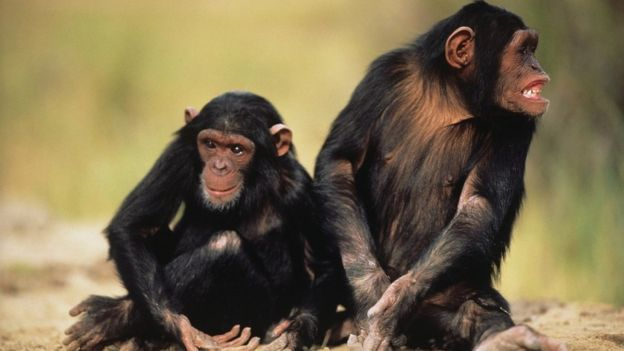 Two chimpanzees, sitting on sand,