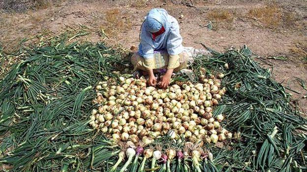 به گفته یکی از فعالین صنفی، بخش عمده پیاز کشور در دو استان هرمزگان و کرمان تولید میشوند