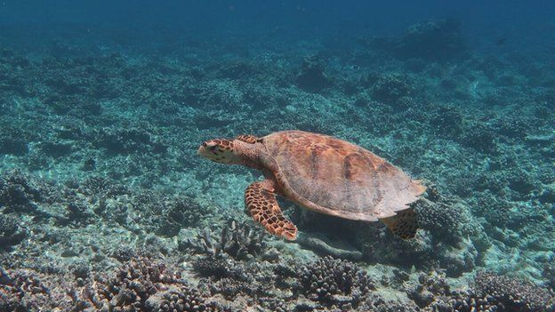 A turtle swimming over a destroyed reef