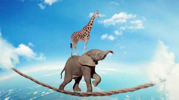Jirafa sobre elefante en cuerda floja